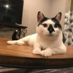 White cat with black facial markings