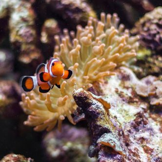 Clown fish in acquarium