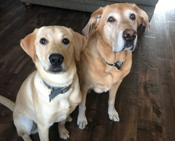 two golden labrador retrievers