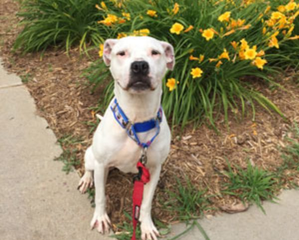 white pit bull mix sitting on the curb