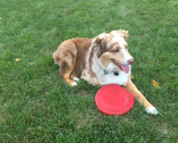 collie with a frisbee in the yard
