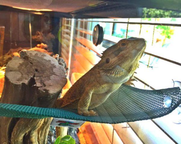 iguana on a hammock