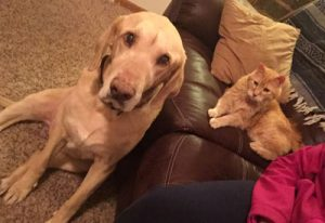 Labrador Retriever and cat on couch