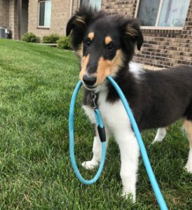 Collie puppy with leash in mouth