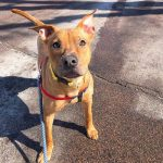Brown pit bull mix on a walk
