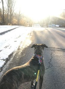 Brindle dog on leash looking at sunset